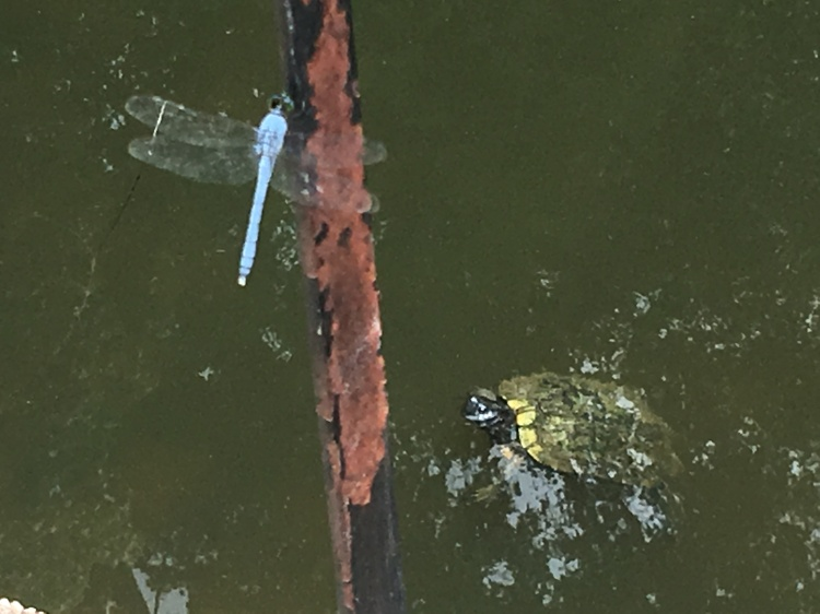 Turtle and Dragonfly-Raleigh Eastgate Park, July 13, 2019.JPG
