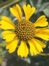 North Phoenix Flower, March 2020